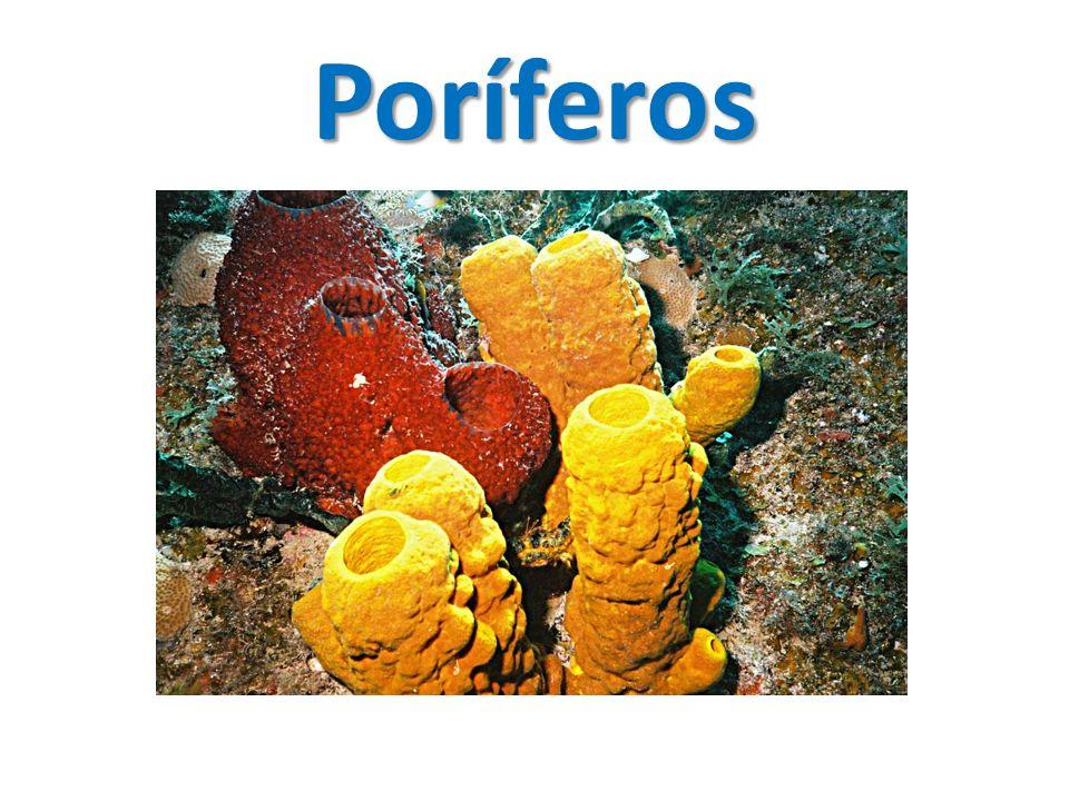 Poríferos Apesar de não parecerem, esses seres chamados de esponjas, são animais; São encontradas apenas nos ambientes aquáticos; Apresentam grande variedade de formas, cores e tamanhos.