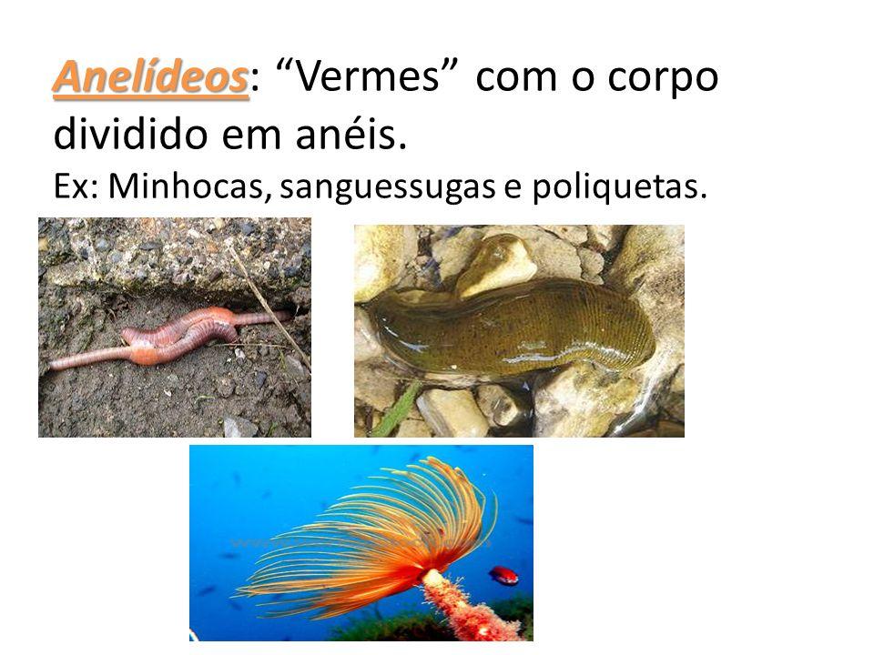 Anelídeos Anelídeos: Vermes com o corpo dividido em anéis. Ex: Minhocas, sanguessugas e poliquetas.
