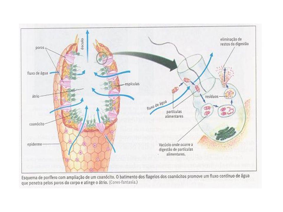 Como se reproduzem: Por reprodução assexuada (brotamento) e sexuada.