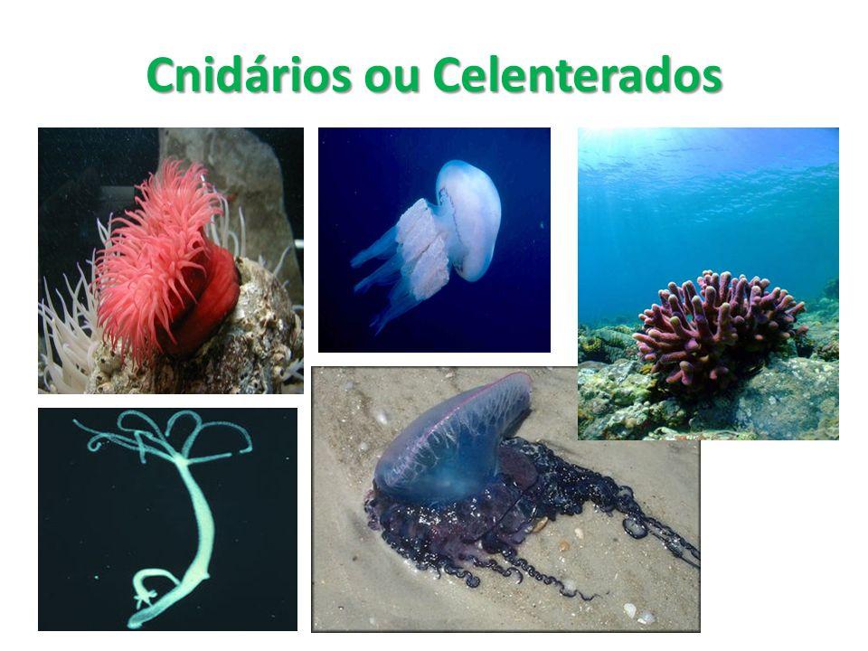 Formado pelas águas-vivas, actínias (anêmonas-do-mar), hidras e corais; Todos são aquáticos; Actínias, hidras e corais: corpo cilíndrico, com uma abertura que corresponde a boca na parte superior e são fixos ou se movimentam pouco.