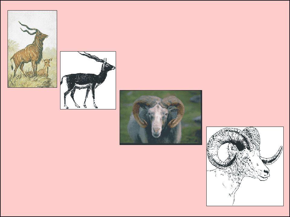 O melhores chifres para o fabrico de shofar são os do Kudu africano , que podem ter até 36 polegadas de comprimento com uma torção tripla.