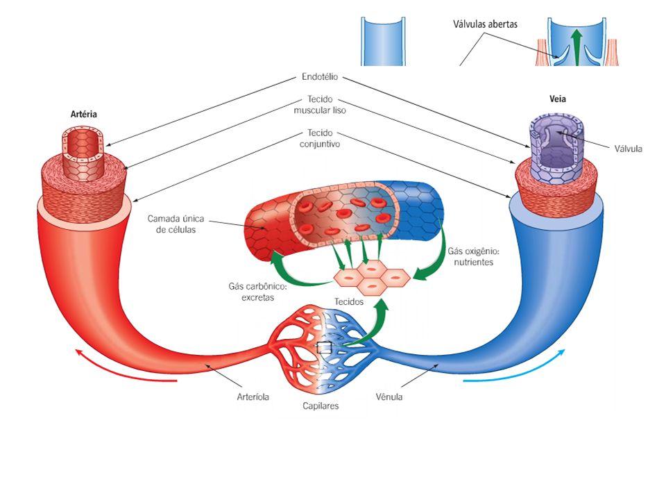 Sangue; Coração; Vasos sanguíneos: – Artérias – arteríolas - capilares: vasos que levam sangue do coração para as demais regiões do corpo; – Veias – v