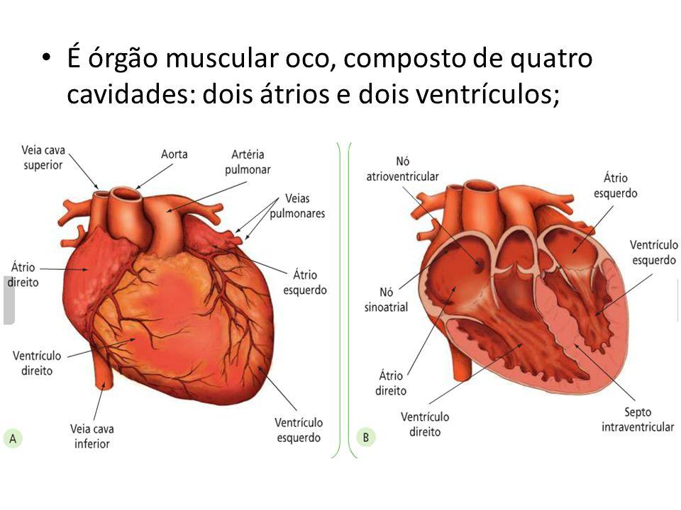 É órgão muscular oco, composto de quatro cavidades: dois átrios e dois ventrículos;