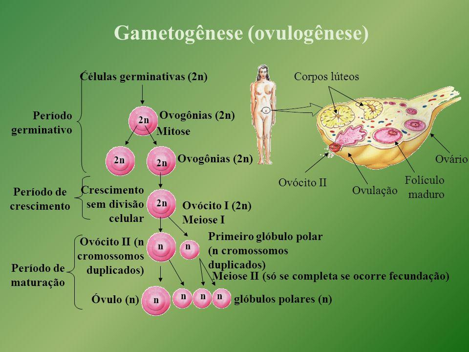 Gametogênese (ovulogênese) Células germinativas (2n) Meiose II (só se completa se ocorre fecundação) Período germinativo Período de crescimento Período de maturação Corpos lúteos Ovulação Ovócito II Folículo maduro Ovário Ovogônias (2n) 2n Mitose Ovogônias (2n) 2n Crescimento sem divisão celular Ovócito I (2n) Meiose I 2n Ovócito II (n cromossomos duplicados) n Primeiro glóbulo polar (n cromossomos duplicados) n n n glóbulos polares (n) nn Óvulo (n)