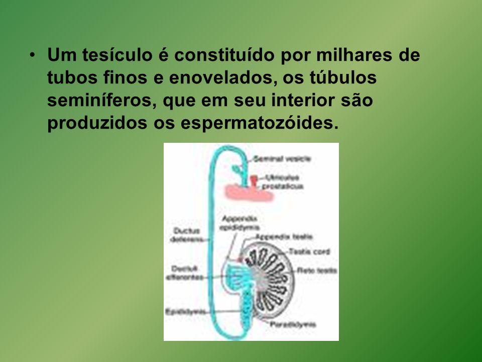 Um tesículo é constituído por milhares de tubos finos e enovelados, os túbulos seminíferos, que em seu interior são produzidos os espermatozóides.