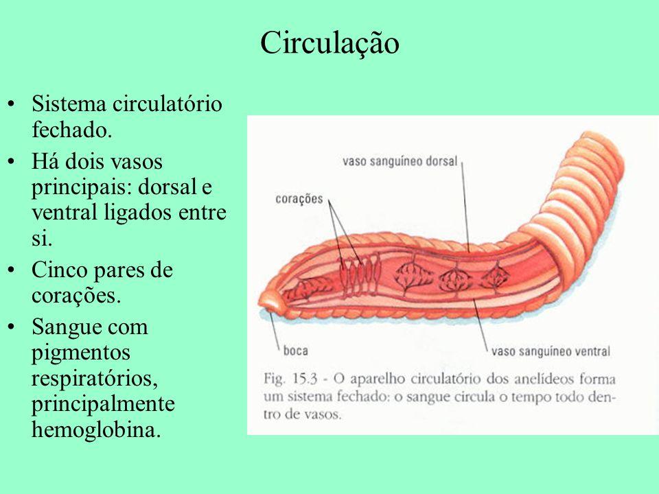 Circulação Sistema circulatório fechado. Há dois vasos principais: dorsal e ventral ligados entre si. Cinco pares de corações. Sangue com pigmentos re