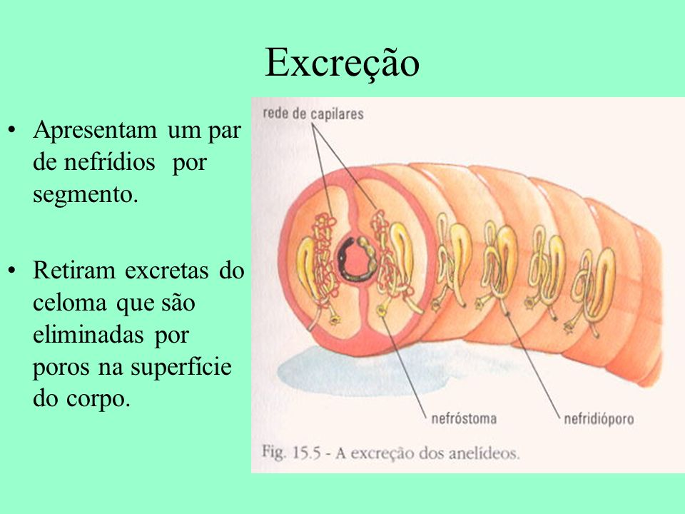 Excreção Apresentam um par de nefrídios por segmento. Retiram excretas do celoma que são eliminadas por poros na superfície do corpo.