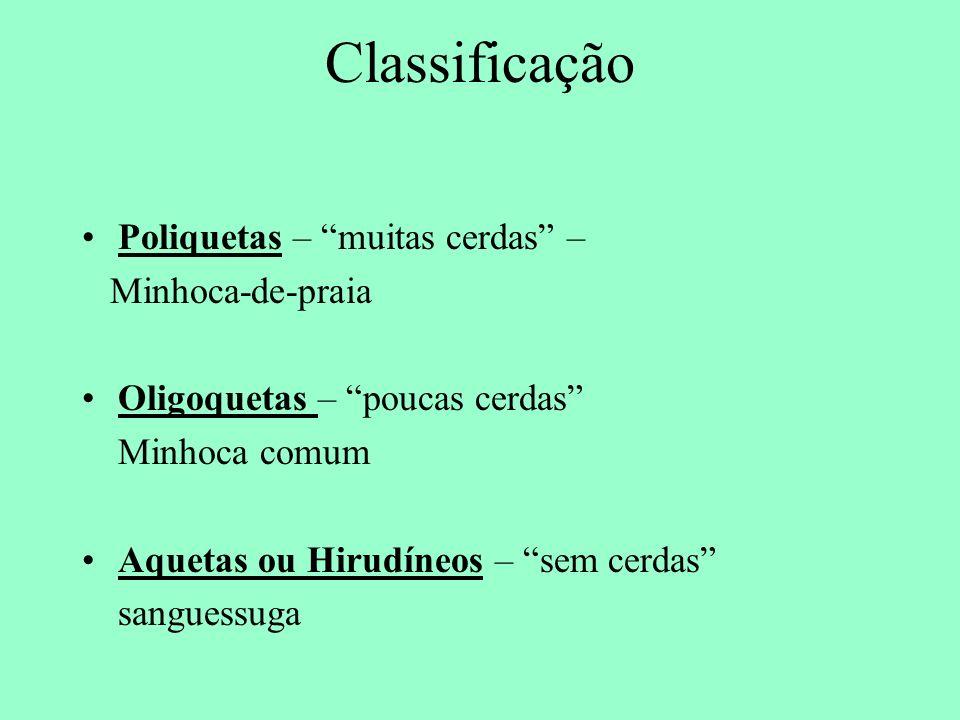 Classificação Poliquetas – muitas cerdas – Minhoca-de-praia Oligoquetas – poucas cerdas Minhoca comum Aquetas ou Hirudíneos – sem cerdas sanguessuga