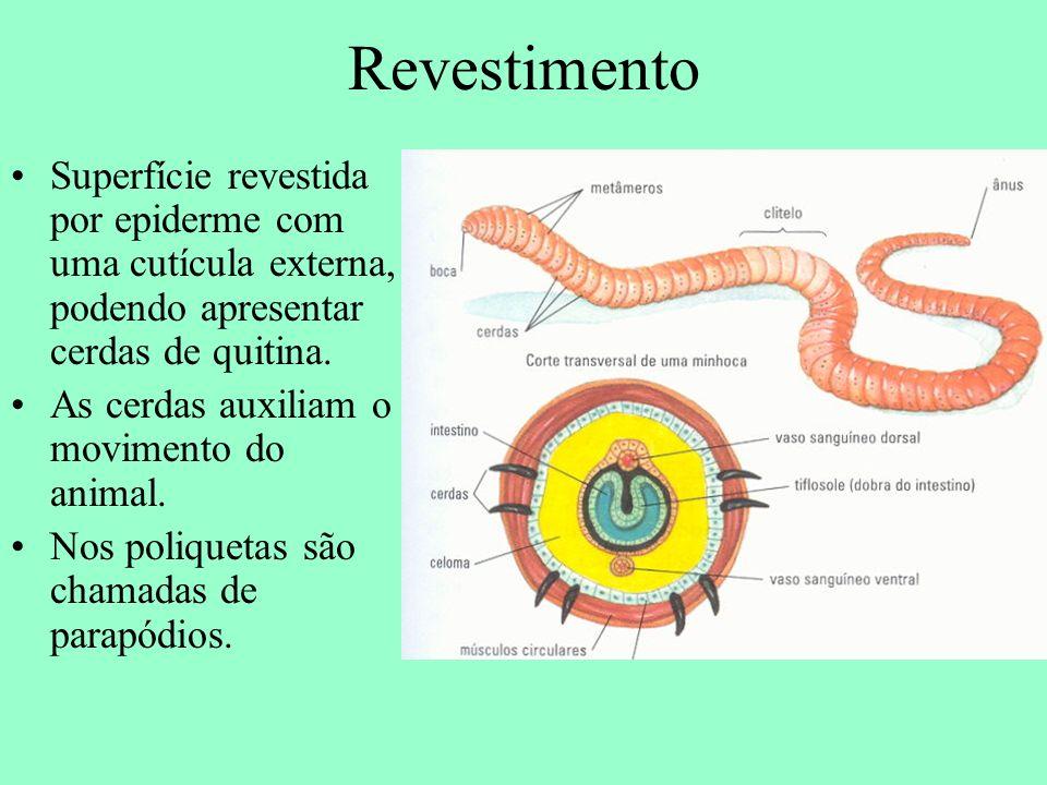 Revestimento Superfície revestida por epiderme com uma cutícula externa, podendo apresentar cerdas de quitina. As cerdas auxiliam o movimento do anima
