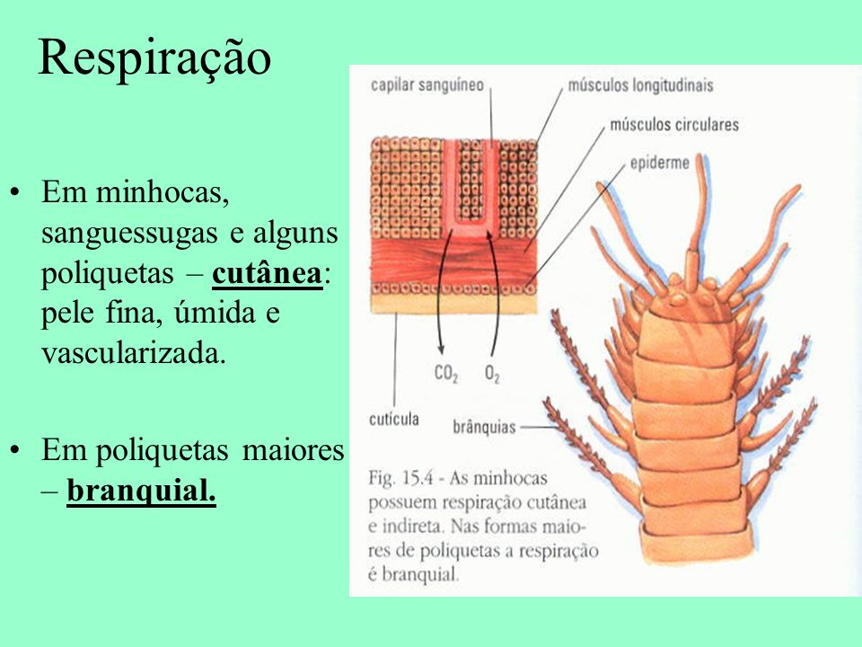 Respiração Em minhocas, sanguessugas e alguns poliquetas – cutânea: pele fina, úmida e vascularizada. Em poliquetas maiores – branquial.