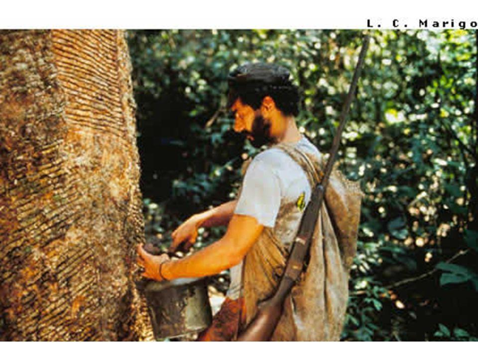EXTRATIVISMO VEGETAL A busca desenfreada por madeiras de lei como o mogno que leva os madeireiros a derrubar cerca de 100 árvores para o aproveitamento de uma única, na maioria das vezes sem licenças dos órgãos ambientais, tornando-se madeira ilegal.