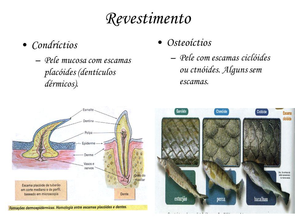 Revestimento Condríctios –Pele mucosa com escamas placóides (dentículos dérmicos). Osteoíctios –Pele com escamas ciclóides ou ctnóides. Alguns sem esc