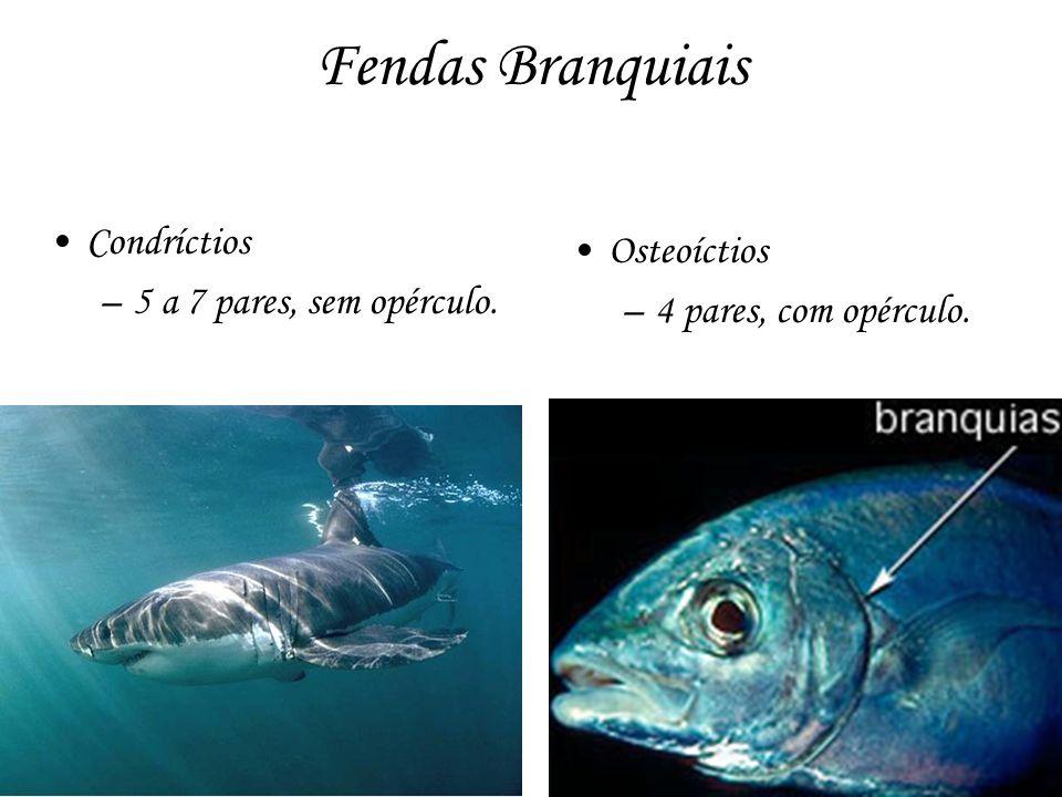 Fendas Branquiais Condríctios –5 a 7 pares, sem opérculo. Osteoíctios –4 pares, com opérculo.