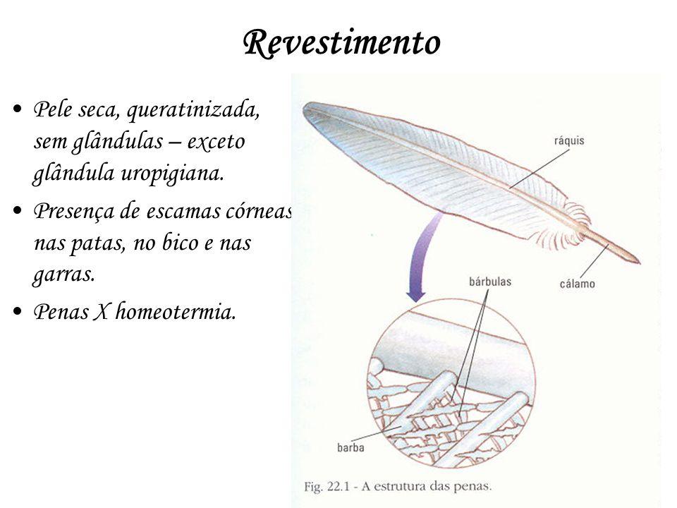 Revestimento Pele seca, queratinizada, sem glândulas – exceto glândula uropigiana. Presença de escamas córneas nas patas, no bico e nas garras. Penas
