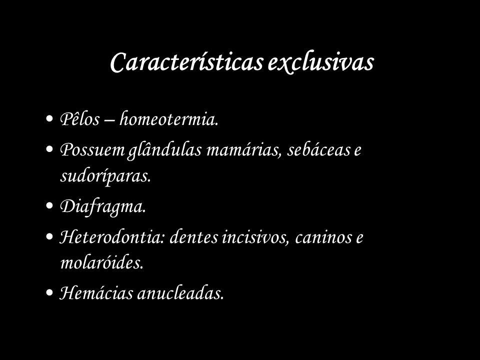 Características exclusivas Pêlos – homeotermia. Possuem glândulas mamárias, sebáceas e sudoríparas. Diafragma. Heterodontia: dentes incisivos, caninos