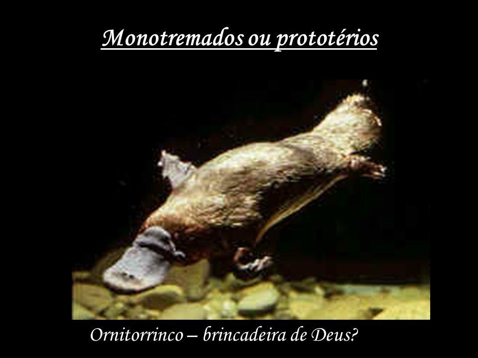 Monotremados ou prototérios Ornitorrinco – brincadeira de Deus?