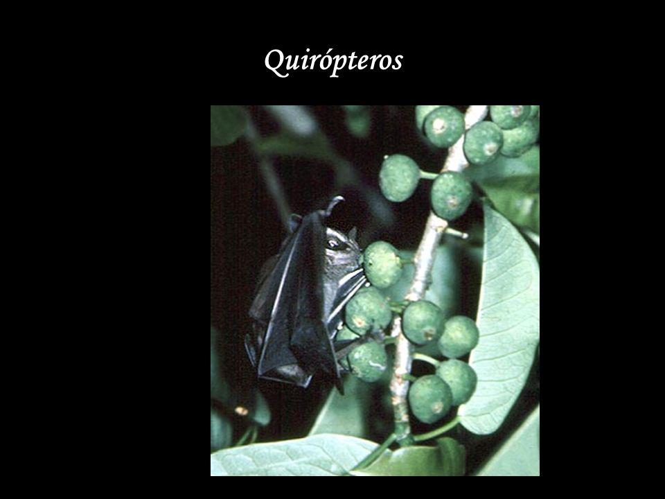 Quirópteros