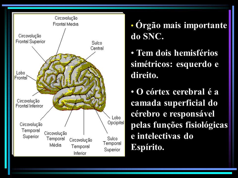 Órgão mais importante do SNC. Tem dois hemisférios simétricos: esquerdo e direito. O córtex cerebral é a camada superficial do cérebro e responsável p