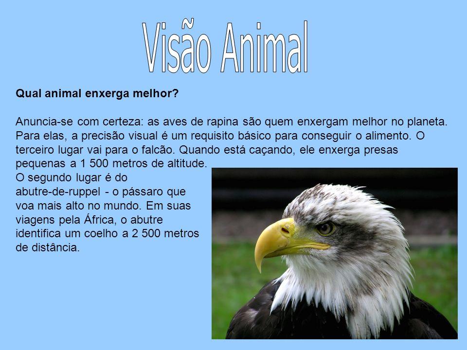 Qual animal enxerga melhor? Anuncia-se com certeza: as aves de rapina são quem enxergam melhor no planeta. Para elas, a precisão visual é um requisito