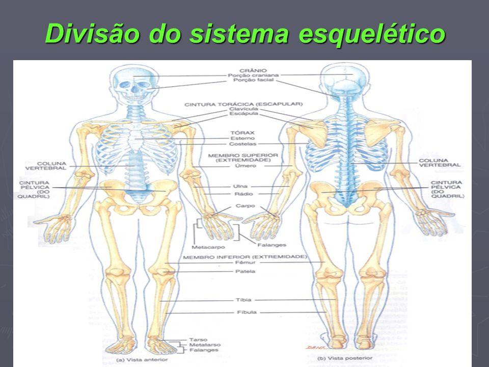 Divisão do sistema esquelético n