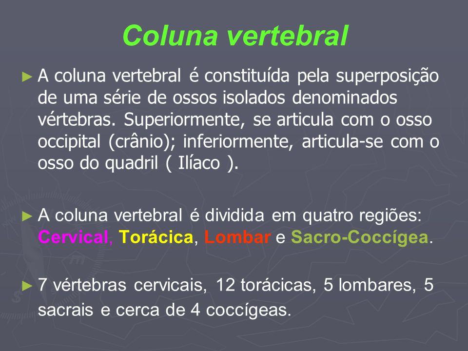 Coluna vertebral A coluna vertebral é constituída pela superposição de uma série de ossos isolados denominados vértebras. Superiormente, se articula c