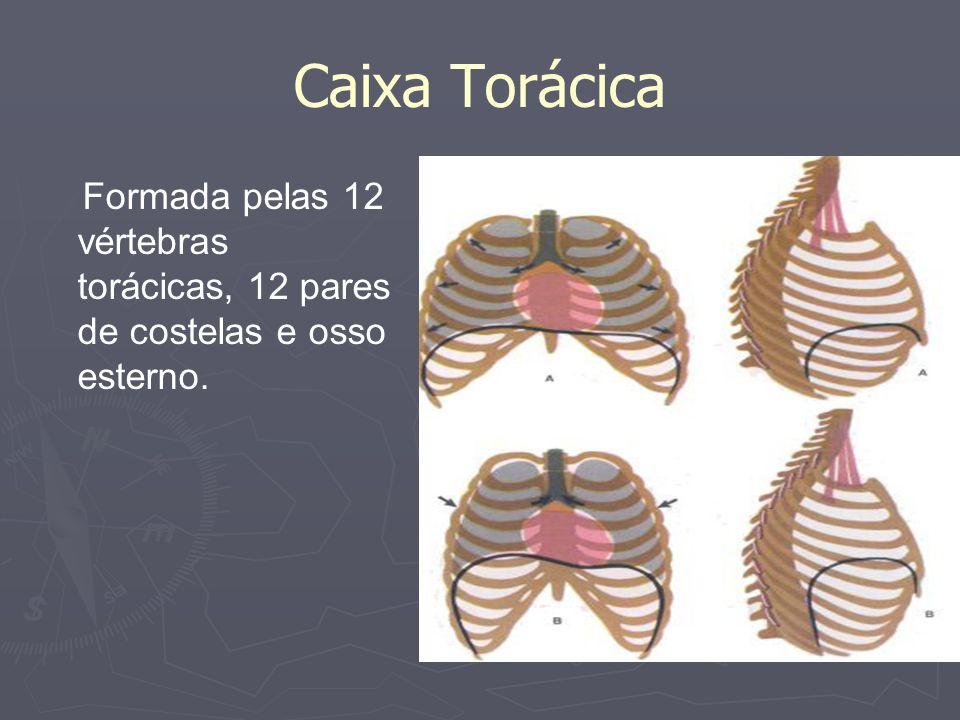Caixa Torácica Formada pelas 12 vértebras torácicas, 12 pares de costelas e osso esterno.