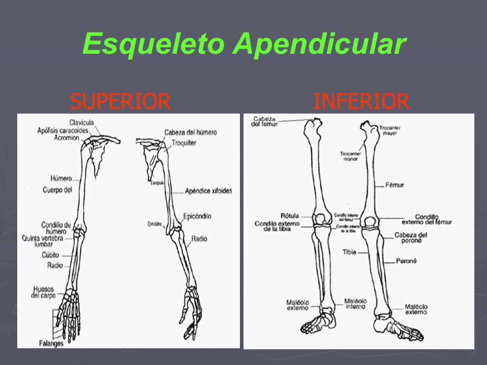 Esqueleto Apendicular SUPERIOR INFERIOR