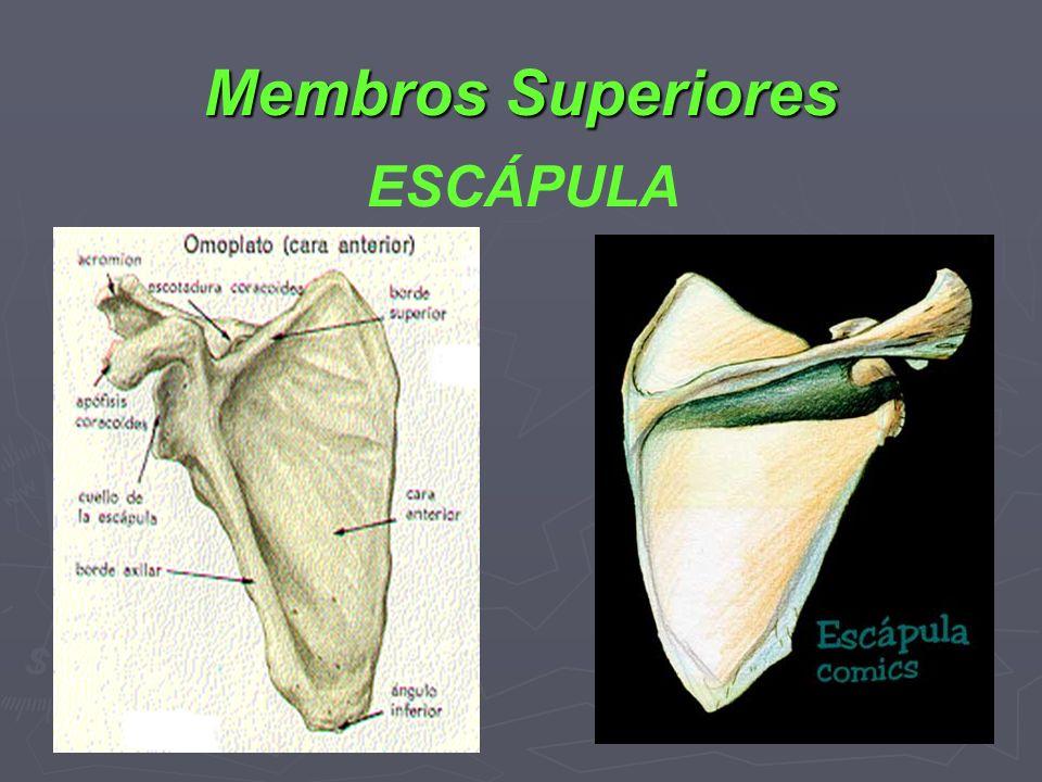 Membros Superiores ESCÁPULA