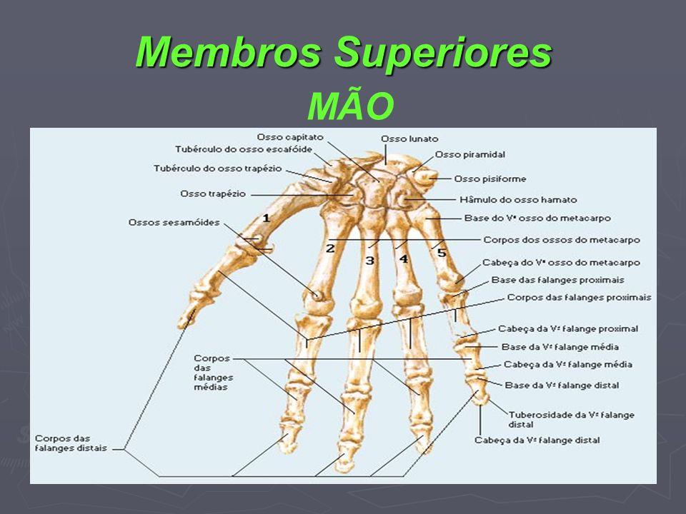 Membros Superiores MÃO