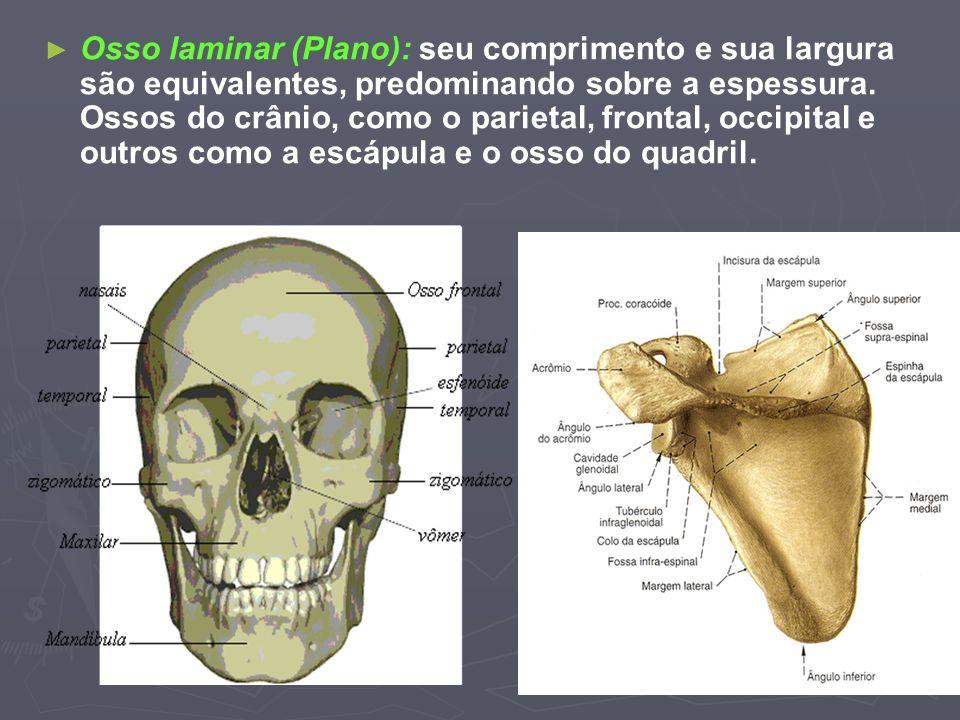 Osso laminar (Plano): seu comprimento e sua largura são equivalentes, predominando sobre a espessura. Ossos do crânio, como o parietal, frontal, occip