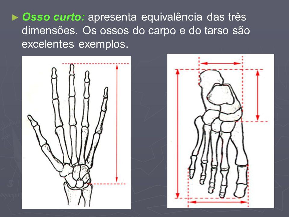 Osso curto: apresenta equivalência das três dimensões. Os ossos do carpo e do tarso são excelentes exemplos.