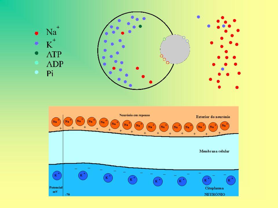 TRANSPORTE ATIVO O Transporte Ativo depende de uma relação altamente especifica entre proteínas da membrana e o material a ser transportado, pois este