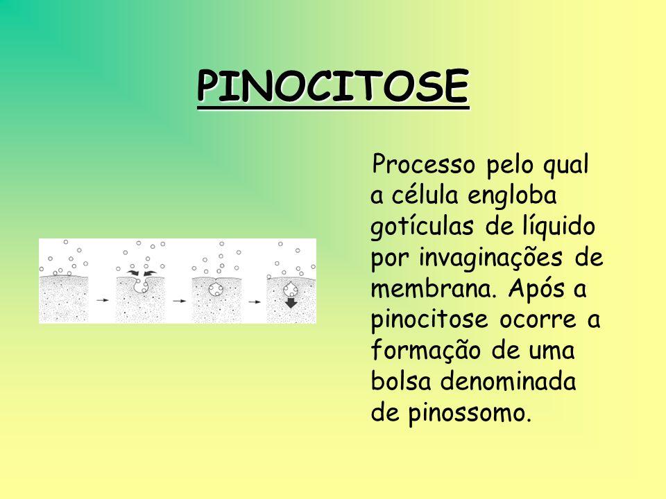 FAGOCITOSE É o processo pelo qual a célula engloba partículas sólidas, pela emissão de pseudópodos. Temos como exemplo a alimentação das amebas e a at