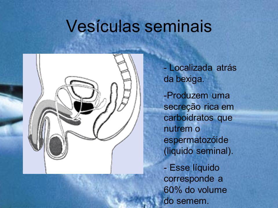Vesículas seminais - Localizada atrás da bexiga. -Produzem uma secreção rica em carboidratos que nutrem o espermatozóide (liquido seminal). - Esse líq