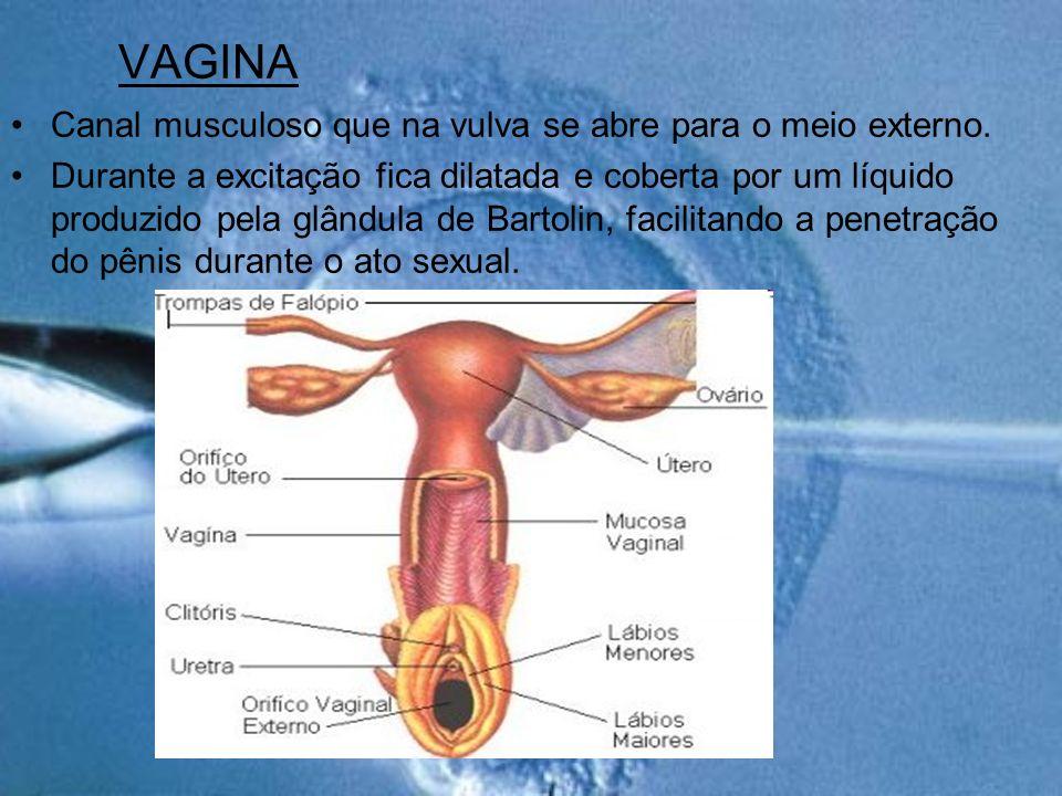 VAGINA Canal musculoso que na vulva se abre para o meio externo. Durante a excitação fica dilatada e coberta por um líquido produzido pela glândula de
