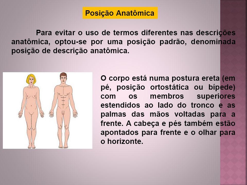 Posição Anatômica Para evitar o uso de termos diferentes nas descrições anatômica, optou-se por uma posição padrão, denominada posição de descrição an