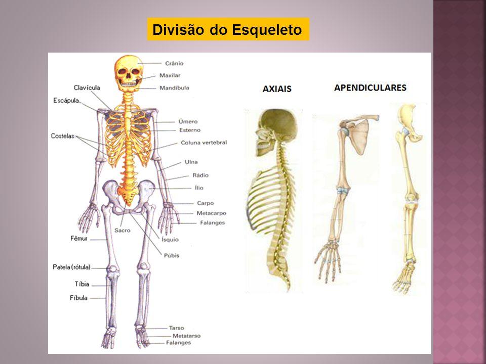 Divisão do Esqueleto