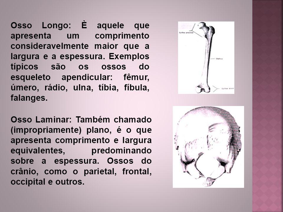Osso Longo: È aquele que apresenta um comprimento consideravelmente maior que a largura e a espessura. Exemplos típicos são os ossos do esqueleto apen