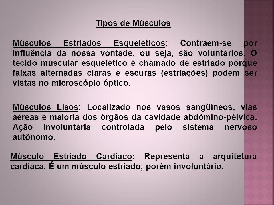 Tipos de Músculos Músculos Estriados Esqueléticos: Contraem-se por influência da nossa vontade, ou seja, são voluntários. O tecido muscular esquelétic