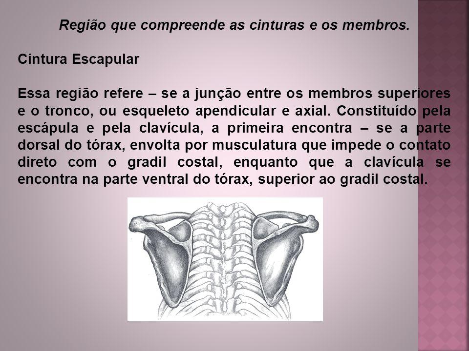 Região que compreende as cinturas e os membros. Cintura Escapular Essa região refere – se a junção entre os membros superiores e o tronco, ou esquelet