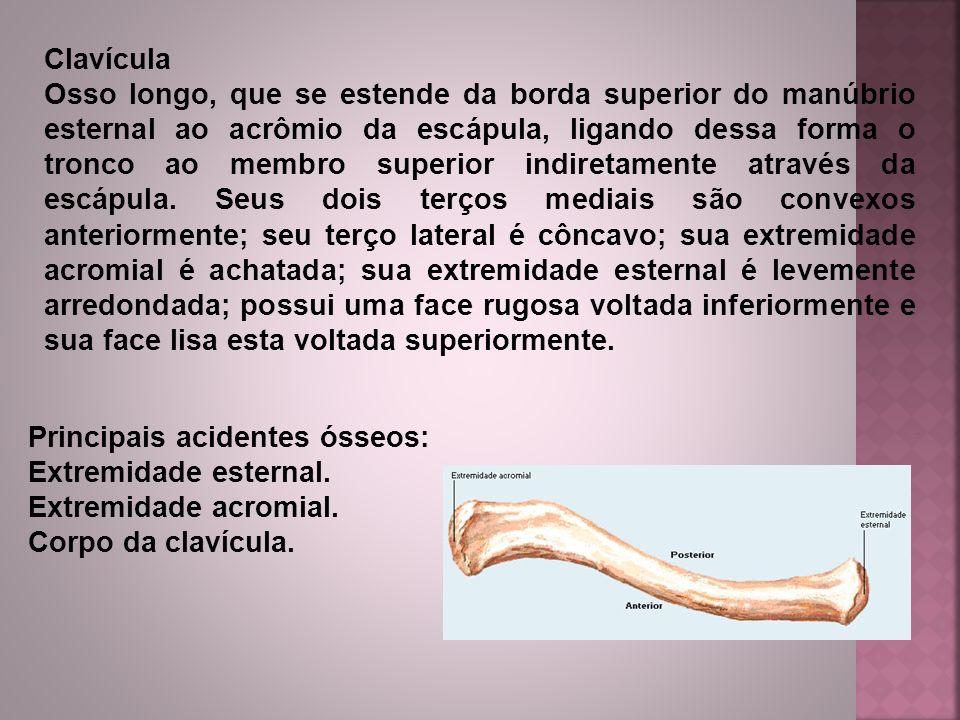 Clavícula Osso longo, que se estende da borda superior do manúbrio esternal ao acrômio da escápula, ligando dessa forma o tronco ao membro superior in