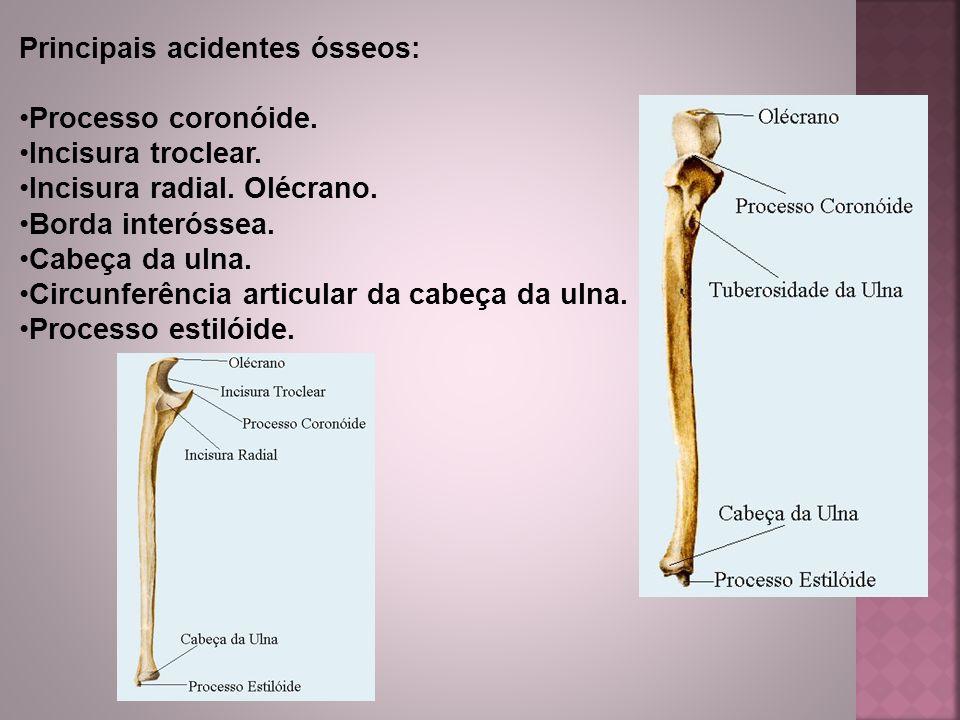 Principais acidentes ósseos: Processo coronóide. Incisura troclear. Incisura radial. Olécrano. Borda interóssea. Cabeça da ulna. Circunferência articu