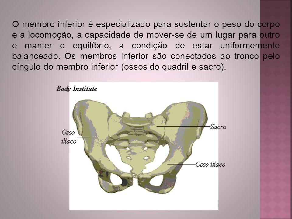 O membro inferior é especializado para sustentar o peso do corpo e a locomoção, a capacidade de mover-se de um lugar para outro e manter o equilíbrio,
