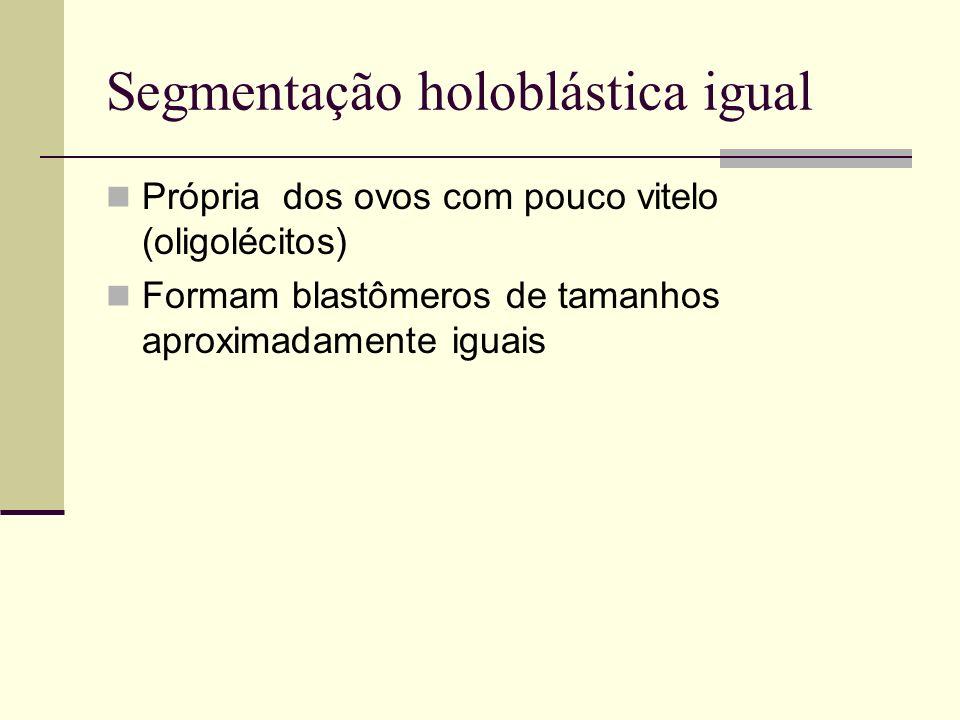Segmentação holoblástica igual Própria dos ovos com pouco vitelo (oligolécitos) Formam blastômeros de tamanhos aproximadamente iguais