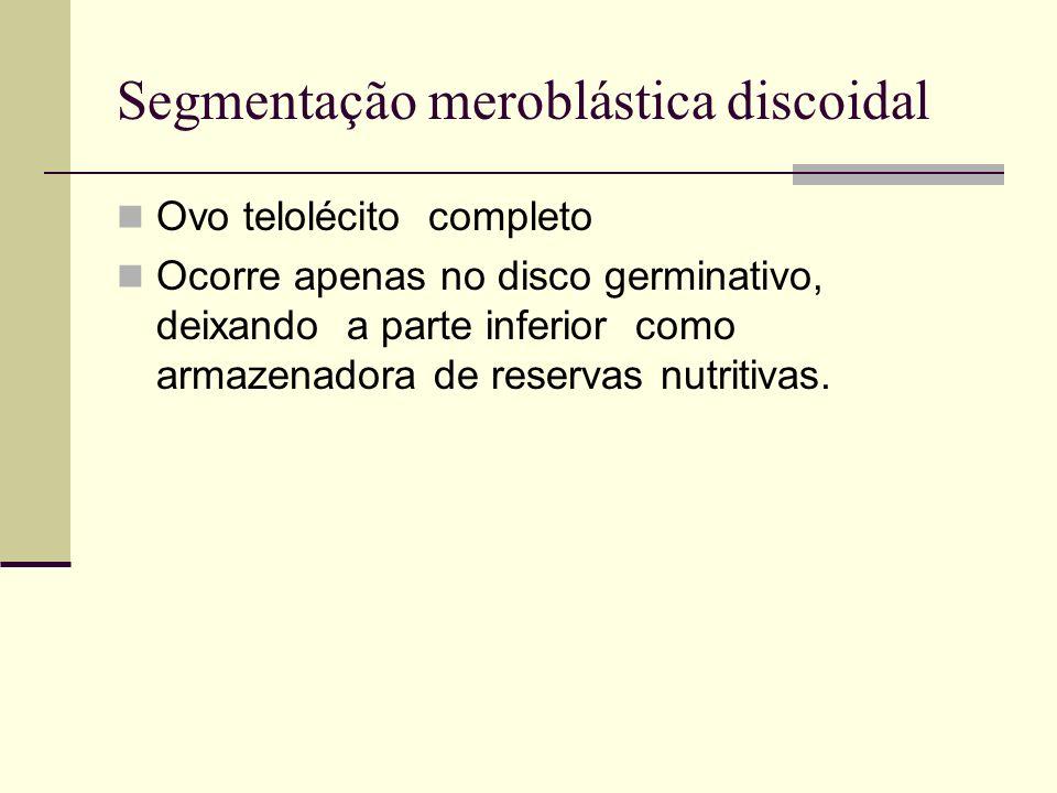Segmentação meroblástica discoidal Ovo telolécito completo Ocorre apenas no disco germinativo, deixando a parte inferior como armazenadora de reservas