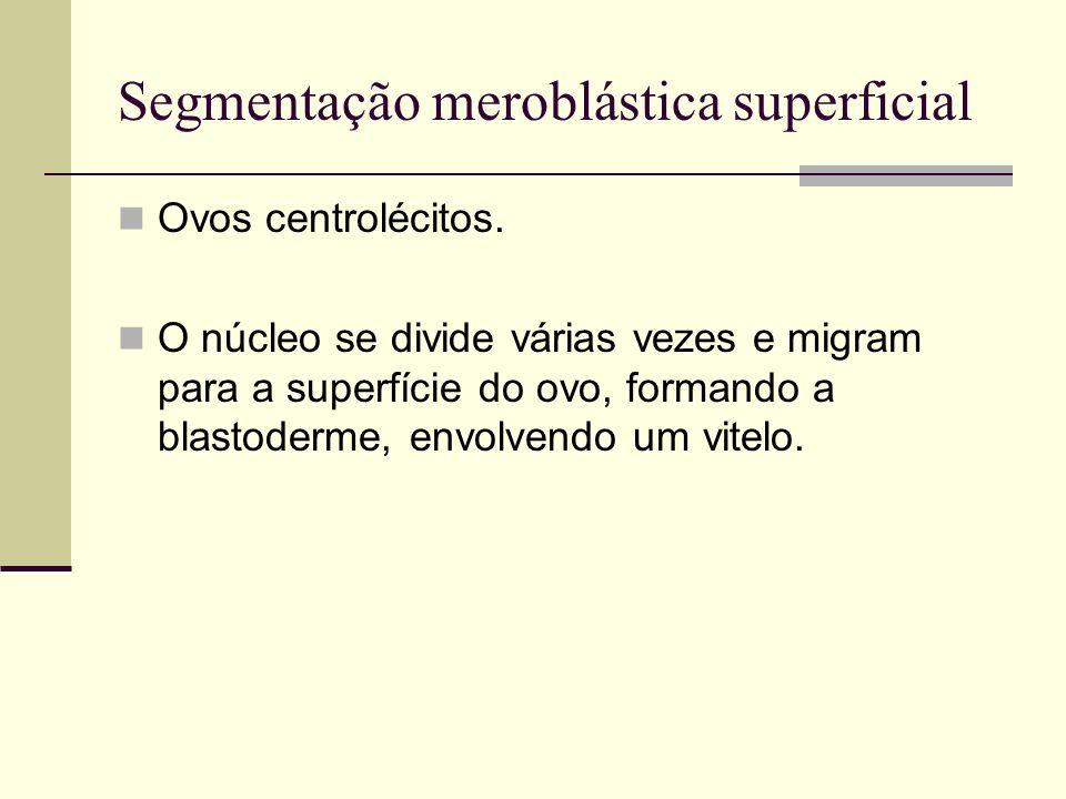 Segmentação meroblástica superficial Ovos centrolécitos. O núcleo se divide várias vezes e migram para a superfície do ovo, formando a blastoderme, en