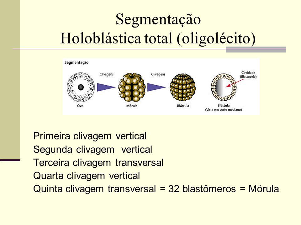 Segmentação Holoblástica total (oligolécito) Primeira clivagem vertical Segunda clivagem vertical Terceira clivagem transversal Quarta clivagem vertic