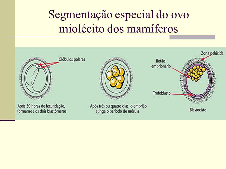 Segmentação especial do ovo miolécito dos mamíferos