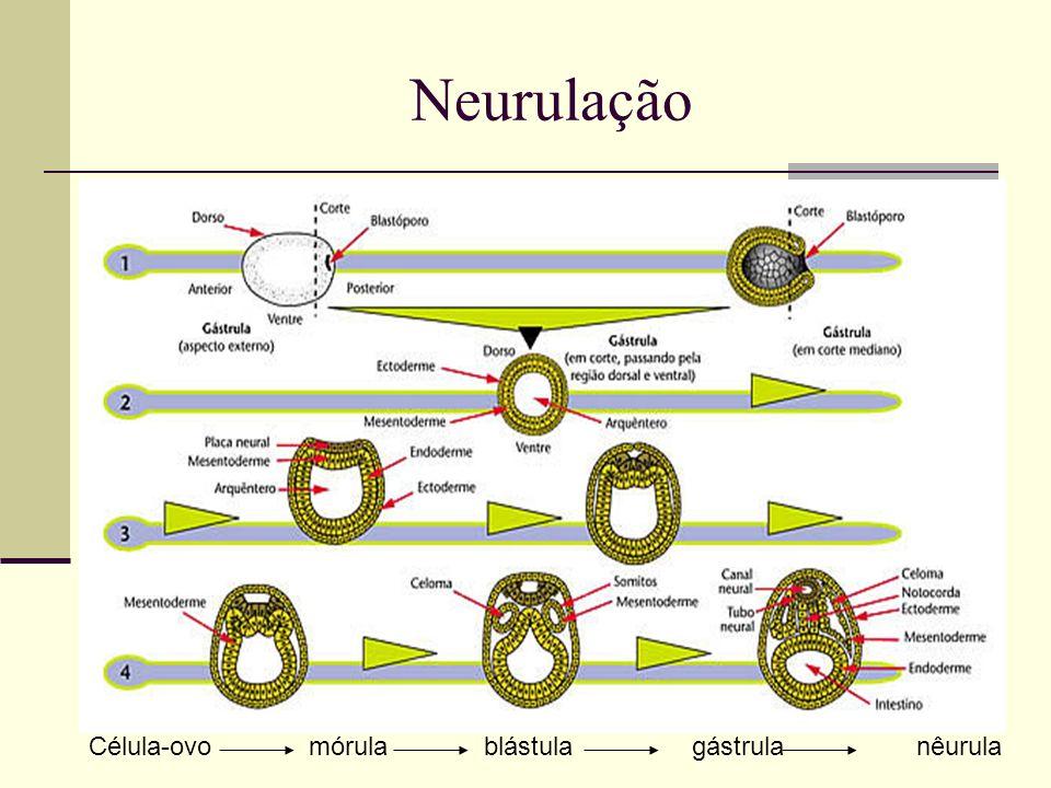 Neurulação Célula-ovo mórula blástula gástrula nêurula