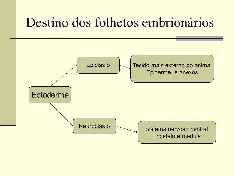 Destino dos folhetos embrionários Ectoderme Tecido mais externo do animal Epiderme, e anexos Epiblasto Sistema nervoso central Encéfalo e medula Neuro